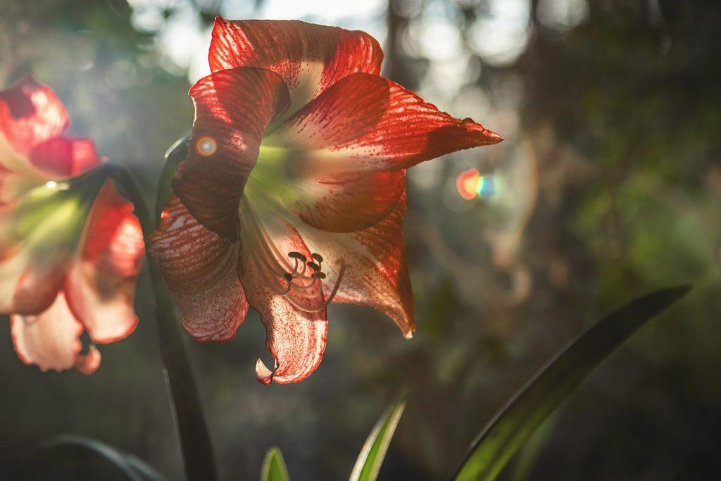 Rote Blume Nahaufnahme
